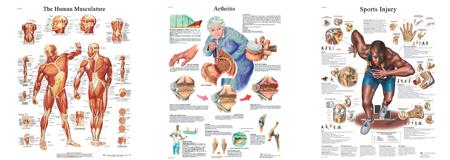 Die anatomischen Charts