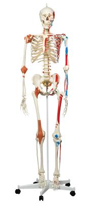 Full Body Skeleton Models