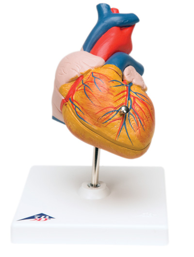 Herzmodelle