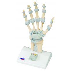 Anatomisches Modell - Handskelett mit Bändern